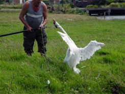 Catching a swan in a brutal way
